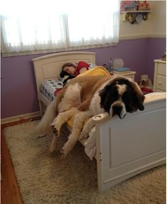 A dog can be too big for your bed. | 17 Dogs That Need A Bigger Bed