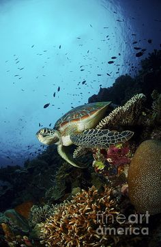Green sea turtle (Chelonia mydas) resting on a plate coral, North Sulawesi, Indonesia