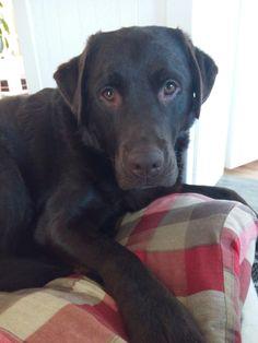Mein süßer Labrador Jacko 😍