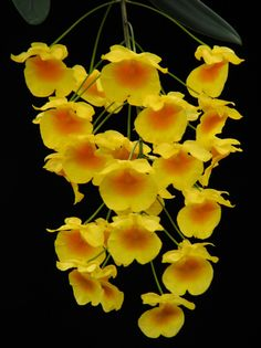 Dendrobium orchid hybrid and species for sale, potted and mounted