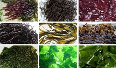 Informatie over zeewieren. Zeewieren zijn algen, welke aan de bodem vast zitten. I.v.m. de groei van de wereldbevolking en van het consumptiepatroon, wordt gezocht naar nieuwe soorten voedselproductie. Zeewieren bevatten veel eiwitten, calcium, mineralen en vitaminen. Soorten zeewier die geschikt zijn als zeegroente, zijn bijvoorbeeld: Nori (bekend van sushi), Dulse, Wakamé, Zeespaghetti, Kombu (of kelp) en Zeesla.  Zeewier is verkrijgbaar bij natuurvoedingswinkels en toko's.