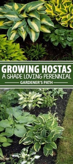 Is your lawn or flower garden drenched in shade? Do you need some low height greenery to cover that bald patch created by shade trees? There's one type of plant that is exceptional for this job. Think hosta. And no, hostas are not as common as you may believe. With hundreds of cultivars, they come in all sorts of colors, leaf arrangements, and colors. Research all of this and more on Gardener's Path now.