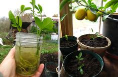 Rooted cuttings-lemon! Do this this spring!