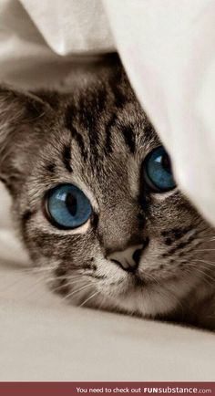 Tiger cat with beautiful deep blue eyes - Cute Cats and Kittens - Chat Cute Baby Cats, Cute Cats And Kittens, Cute Baby Animals, Kittens Cutest, Funny Animals, Funny Cats, Grumpy Cats, Pretty Cats, Beautiful Cats