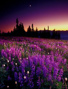 Fireweed glowing at the break of dawn