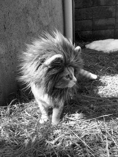 I is a lion!