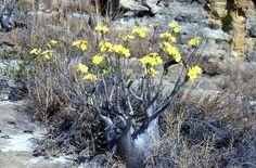 Pachypodium rosulatum var gracilius 1 - next picture