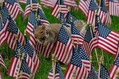 Memorial day in New York - Squirrel jumping in usa flag background