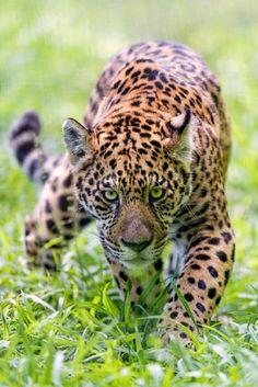 Approaching serious jaguar byTambako The Jaguar