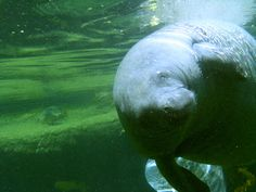A Manatee at Lowry Park Zoo in Tampa
