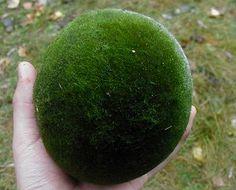 Marimo (Cladophora ball, Lake ball, Moss Ball)