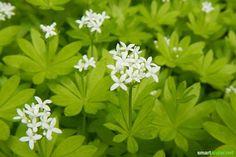 Waldmeister kennen wir in Brause und der Götterspeise. Meist ist das aber synthetischer Geschmack. Dabei kannst du die Pflanze leicht und natürlich nutzen!