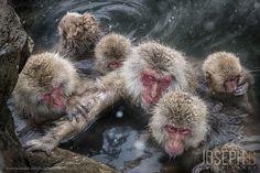 Snow Monkeys by Joseph Goh  on 500px