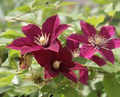 Clematis - One Of The Best Climbing Vines - http://www.gardenpicsandtips.com/clematis-one-of-the-best-climbing-vines/