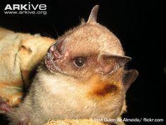 Little yellow-shouldered bat (Sturnira lilium)