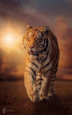 Tiger by Harry Schindler - Photo 146912679 - Small Wild Cats, Small Cat, Big Cats, Cats And Kittens, Beautiful Cats, Animals Beautiful, Chat Lion, Animals And Pets, Cute Animals