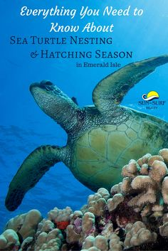 Check out all the fun of watching baby sea turtles hatch and how to catch a hatching! #beach #seaturtles