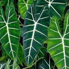 Planta Alocasia, Alocasia Plant, Types Of Soil, Types Of Plants, Begonia, Buy Plants, Indoor Plants, Calla Lily Flowers, Evergreen Garden