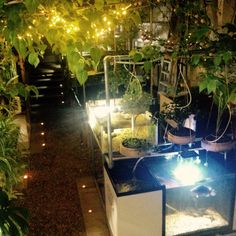 #happy #Christmas from our #sparkly #fairy #light and #candles festively #decorated  #aquaponics #system in our #greenhouse #growing #physalis #tumeric #chillies #aloevera #food and #baby #tilapia #fish in the #water #Brighton #eastsussex #UK
