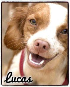 Lucas, #perrito minibretón rescatado de Mairena, por fin ha sido #adoptado en #Sevilla