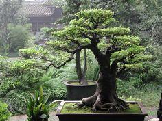 bonsai: maravilhas em vasos                                                                                                                                                                                 Mais