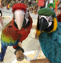 Camelot & Blue and Gold Macaws