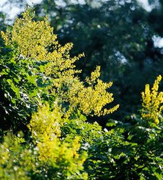Golden Rain Tree - another beautiful one I've never seen