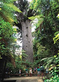 tane mahuta, oldest tree in New Zealand
