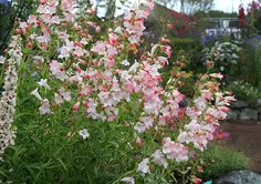 Penstemon X gloxinoides 'Thorn' - long lives massive blooming high and wide. Blooms spring thru fall. Planted behind the blue and the gregi to the left of the chair. Pink Perennials, Best Perennials, Cut Flowers, Wild Flowers, Deer Resistant Flowers, Spring Plants, Side Garden, House With Porch, Native Plants