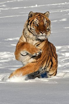 "Siberian Tiger. ""Changing Direction"" by Jeff Norton."
