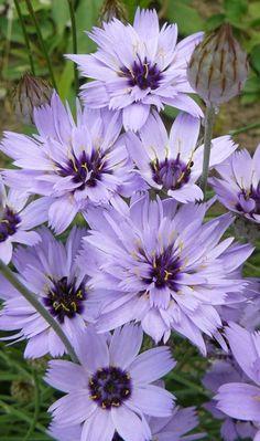 Poblekla modrá - Catananche caerulea :: LEVNE ROSTLINY . CZ Plants, Flowers, Planters, Plant, Planting