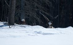 Bald eagles in central Maine. #mainewildlife #maine #visitmaine #kennebecvalley #baldealges #silvertonsportingranch