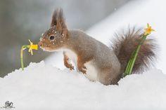 Белки Гирта Веггена в рождественской фотосессии « FotoRelax