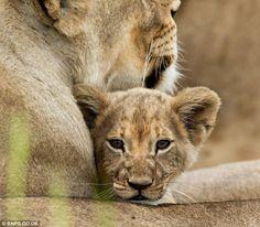 Africa   Ngamo pride in Zimbabwe   © Carole Deschuymere