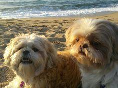 Sugar & Muffin, Shih Tzu beach day!