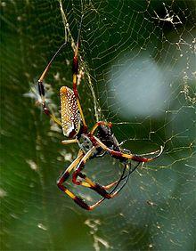 Golden silk orb-weaver - Wikipedia, the free encyclopedia