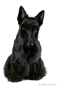 Scottish.  Beautiful scottie baby.JC