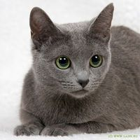 русская голубая кошка: 16 тыс изображений найдено в Яндекс.Картинках