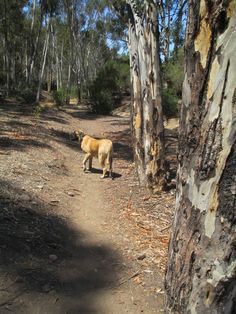 Burt, English Mastiff exploring near the lake.