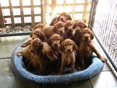 Golden Retriever Puppies – 5 Things To Search For When Purchasing A Puppy I Love Dogs, Cute Dogs, Most Beautiful Dogs, Animals Beautiful, Irish Setter Dogs, Dogs And Puppies, Spaniel Puppies, Doggies, Puppy Breath