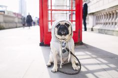 On the blog today you will find the fashion king of London, Ari. Head on over to check out his social pug profile. http://www.thepugdiary.com/social-pug-profile-ari/