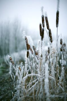 Frosty cattails ~