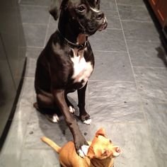 Love this one. Coal Hi-5's on Winston's back! #boxer #blackboxer #chihuahua