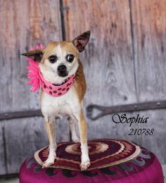 Meet SOPHIA, a Petfinder adoptable Chihuahua Dog | Conroe, TX | Petfinder.com is the world's largest database of adoptable pets and pet care information....