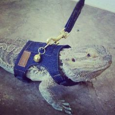 Beardie going for a walk! Definitely need to get one when Steve gets bigger. :)