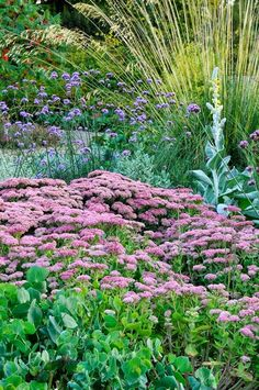 Sedum 'Herbstfreude' (syn 'Autumn Joy'), Verbena /bonariensis, Verbascum bombyciferum, Stipa gigantea/ Cathrine, the verbena is in the back ground too Dry Garden, Gravel Garden, Garden Plants, Low Water Landscaping, Garden Landscaping, Landscaping Ideas, Small Gardens, Outdoor Gardens, Stipa