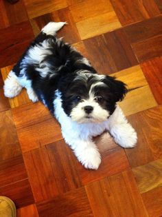 Moodle (Maltese x Poodle) cross Shih Tzu - 10 weeks old