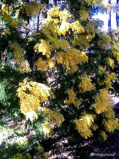 Acacia Dealbata o Mimosa - Fidelity Foto
