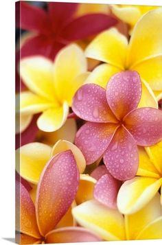 Plumeria/Frangipani used for leii flowers. When I lived on the big island of Hawaii the public parks and downtown roads were planted with plumeria everywhere Flores Plumeria, Plumeria Flowers, Plumeria Tree, Lilies Flowers, Art Flowers, Tropical Flowers, Flowers Nature, Hawaii Flowers, Exotic Flowers