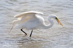 Great Egret and fish